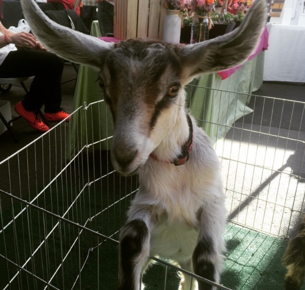 Open Air Market Goat